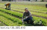 Farmer harvesting red arugula on the plantation. Стоковое видео, видеограф Яков Филимонов / Фотобанк Лори