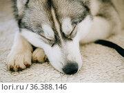 Gray Adult Siberian Husky Dog Sibirsky husky sleeping in his bed. Стоковое фото, фотограф Ryhor Bruyeu / easy Fotostock / Фотобанк Лори