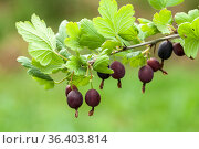 Gooseberry twigs with black berries, close-up. Стоковое фото, фотограф EugeneSergeev / Фотобанк Лори
