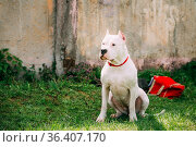 White Dog Of Dogo Argentino Also Known As The Argentine Mastiff Is... Стоковое фото, фотограф Ryhor Bruyeu / easy Fotostock / Фотобанк Лори