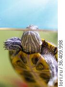 Red-eared sliders in the terrarium, macro. Стоковое фото, фотограф Евгений Ткачёв / Фотобанк Лори
