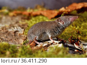 Greater white-toothed shrew (Crocidura russula), captive. Стоковое фото, фотограф Daniel Heuclin / Nature Picture Library / Фотобанк Лори