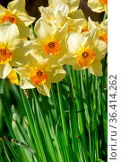 Beauty blossoms of easter narcissus. Стоковое фото, фотограф Zoonar.com/Stefan Dinse / easy Fotostock / Фотобанк Лори