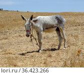 Typischer magerer Esel in der Hitze der Extremadura in Spanien. Стоковое фото, фотограф Zoonar.com/Atlantismedia / easy Fotostock / Фотобанк Лори
