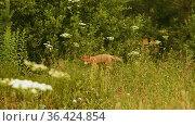 Small red fox goes int the tall grass in the forest and looks in camera, summer day time. Стоковое видео, видеограф Dzmitry Astapkovich / Фотобанк Лори