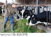 Confident farmer feeding cows with hay in cowshed of dairy farm. Стоковое фото, фотограф Яков Филимонов / Фотобанк Лори