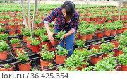Latin american woman farmer holding pot with mint at greenhouse farm. Стоковое видео, видеограф Яков Филимонов / Фотобанк Лори