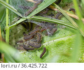 Seven week old Marsh fritillary (Euphydryas aurinia) caterpillars feeding on Devil's bit scabious (Succisa pratensis) leaves, their larval food... Стоковое фото, фотограф Nick Upton / Nature Picture Library / Фотобанк Лори