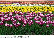 Tulpen sind sehr attraktive Fruehblueher. Sie ist eine Zwiebelpflanze... Стоковое фото, фотограф Zoonar.com/Manfred Ruckszio / easy Fotostock / Фотобанк Лори