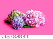 Close-up of a bouquet of hydrangeas in pastel colors. The hydrangeas... Стоковое фото, фотограф Zoonar.com/OKSANA SHUFRYCH / easy Fotostock / Фотобанк Лори