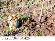Freshly harvested organic potatoes in metal bucket and shovel at the... Стоковое фото, фотограф Zoonar.com/Alexander Blinov / easy Fotostock / Фотобанк Лори