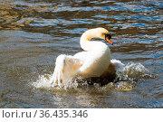 Graceful white swan on the water surface. Стоковое фото, фотограф Zoonar.com/Yuri Dmitrienko / easy Fotostock / Фотобанк Лори