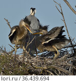 Grey heron (Ardea cinerea) adult and two chicks on nest, Camargue... Стоковое фото, фотограф Loic Poidevin / Nature Picture Library / Фотобанк Лори