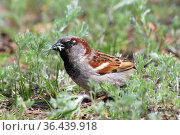 Домовый воробей ест траву. A male house sparrow (Passer domesticus) in sunny spring day on the ground in the new green grass with the part of tasty fresh plant in its beak. Стоковое фото, фотограф Ekaterina M / Фотобанк Лори