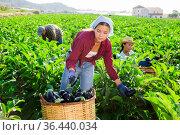 Young female farm worker gathering crop of aubergines on vegetable plantation. Стоковое фото, фотограф Яков Филимонов / Фотобанк Лори