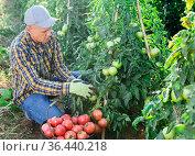 Farm worker gathering crop of pink tomatoes on vegetable plantation. Стоковое фото, фотограф Яков Филимонов / Фотобанк Лори