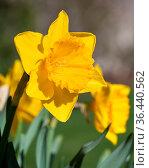 Daffodil (Narcissus pseudonarcissus), flowers of springtime. Стоковое фото, фотограф Zoonar.com/Alexander Ludwig / easy Fotostock / Фотобанк Лори