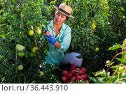 Asian female farm worker gathering crop of pink tomatoes. Стоковое фото, фотограф Яков Филимонов / Фотобанк Лори