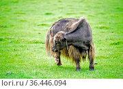 Yak auf der Weide, Gorchi-Tereldsch-Nationalpark, Mongolia / Yak on... Стоковое фото, фотограф Zoonar.com/Mike / easy Fotostock / Фотобанк Лори