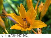 Die Lilien gehören zu den Zwiebelpflanzen und sind wegen ihrer gr0ßen... Стоковое фото, фотограф Zoonar.com/Eder Christa / easy Fotostock / Фотобанк Лори