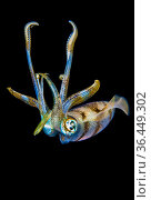 Portrait of a Bigfin reef squid (Sepioteuthis lessoniana) at night... Стоковое фото, фотограф Alex Mustard / Nature Picture Library / Фотобанк Лори