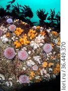 Colourful soft corals, Dead man's fingers (Alcyonium digitatum) and common sea urchins (Echinus esculentus) mass beneath a kelp forest (Laminaria... Стоковое фото, фотограф Alex Mustard / Nature Picture Library / Фотобанк Лори