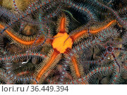 Detail of an orange coloured, black brittlestar (Ophiocomina nigra) in a bed of common brittlestar (Ophiothrix fragilis). Fort William, Lochaber, The Highlands... Стоковое фото, фотограф Alex Mustard / Nature Picture Library / Фотобанк Лори