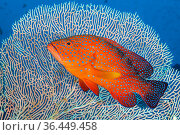 RF - Portrait of a coral grouper (Cephalopholis miniata) next to a sea fan (Annella sp.) on a coral reef. Raja Ampat, West Papua, Indonesia. Ceram Sea... Стоковое фото, фотограф Alex Mustard / Nature Picture Library / Фотобанк Лори
