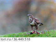 Common buzzard (Buteo buteo) feeding on ground, Castell-y-bwch, Newport, South Wales, UK. October. Стоковое фото, фотограф David Pike / Nature Picture Library / Фотобанк Лори