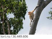 Proboscis monkey (Nasalis larvatus) male preparing to leap to an adjacent tree. Sabah, Malaysian Borneo. Стоковое фото, фотограф Ben Cranke / Nature Picture Library / Фотобанк Лори