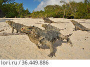 Cuban rock iguanas (Cyclura nubila) on the beach with a Desmarest's hutia (Capromys pilorides), Gardens of the Queen National Park, Cuba. Стоковое фото, фотограф Pascal Kobeh / Nature Picture Library / Фотобанк Лори