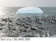 King penguins (Aptenodytes patagonicus) swimming in the surf to clean their plumage. St Andrew's Bay, South Georgia Island. Стоковое фото, фотограф Ben Cranke / Nature Picture Library / Фотобанк Лори