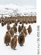 King penguin (Aptenodytes patagonicus) chicks gathered in a creche, Fortuna Bay, South Georgia Island. Стоковое фото, фотограф Ben Cranke / Nature Picture Library / Фотобанк Лори