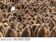 An adult King penguin (Aptenodytes patagonicus) amongst a creche of chicks at the breeding colony. Fortuna Bay, South Georgia Island. Стоковое фото, фотограф Ben Cranke / Nature Picture Library / Фотобанк Лори