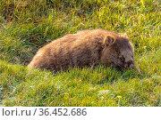Common wombat at the Waldheim Chalet in the Cradle Mountain-Lake St... Стоковое фото, фотограф Zoonar.com/Laszlo Konya / easy Fotostock / Фотобанк Лори