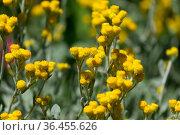 Helichrysum stoechas, known as Mediterranean strawflower, curry plant, or eternal flower. Стоковое фото, фотограф Irina Opachevsky / Фотобанк Лори
