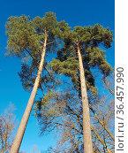 Kiefer, Pinus, March, Pine, Nadelbaum. Стоковое фото, фотограф Zoonar.com/Manfred Ruckszio / easy Fotostock / Фотобанк Лори