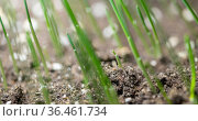 Fresh grass growing macro time-lapse. Closeup of germination and growth of tiny grass cereal crop. Wheat, oats or barley culture. Motorised panoramic movement. Стоковое видео, видеограф Александр Маркин / Фотобанк Лори