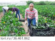 Latin american farm worker gathering crop of courgettes. Стоковое фото, фотограф Яков Филимонов / Фотобанк Лори