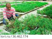 Confident male farmer working in greenhouse, cultivating tomato sprouts. Стоковое фото, фотограф Яков Филимонов / Фотобанк Лори