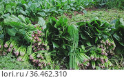 Bunches of ripe spinach on a farm field. Стоковое видео, видеограф Яков Филимонов / Фотобанк Лори