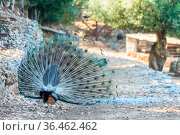 Peacock with a bright beautiful tail in the park. Стоковое фото, фотограф Константин Лабунский / Фотобанк Лори