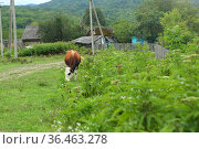 Cow on a summer pasture. Стоковое фото, фотограф Марина Володько / Фотобанк Лори