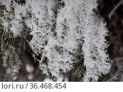 Close-up view of ice crystals on spruce needles. Winter background. Стоковое фото, фотограф Zoonar.com/Yury Dmitrienko / easy Fotostock / Фотобанк Лори