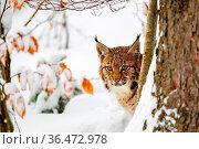 Luchs (Lynx lynx) im Winter im Tier-Freigelände im Nationalpark Bayrischer... Стоковое фото, фотограф Zoonar.com/Dirk Rueter / easy Fotostock / Фотобанк Лори
