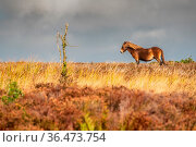 A wild Exmoor Pony, seen on Porlock Hill in Somerset, England, UK. Стоковое фото, фотограф Zoonar.com/Bernd Brueggemann / easy Fotostock / Фотобанк Лори