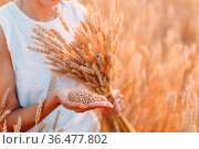 Woman holding sheaf of wheat ears at agricultural field. Стоковое фото, фотограф Zoonar.com/Max / easy Fotostock / Фотобанк Лори