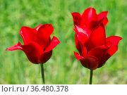 Flowers red tulips. Стоковое фото, фотограф Zoonar.com/OLGAMURiNA / easy Fotostock / Фотобанк Лори