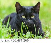 Россия, чёрная кошка на даче лежит в зелёной траве. Стоковое фото, фотограф glokaya_kuzdra / Фотобанк Лори