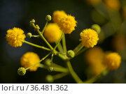 Flowering Vachellia karroo, aka Sweet thorn natural macro floral background. Стоковое фото, фотограф Tamara Kulikova / Фотобанк Лори